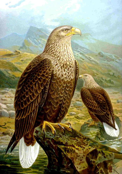 Seeadler • FotoWikimedia Commons (Public Domain)
